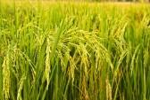 برنج بیقیمت شد! برنج ایرانی در مرز 4000 تومان