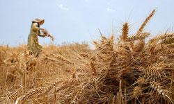 گندم نانوایی همچنان 360 تومان/قیمت گندم صنف و صنعت شنبه اعلام میشود