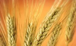 ایران ۶۰ هزار تن گندم از استرالیا خرید