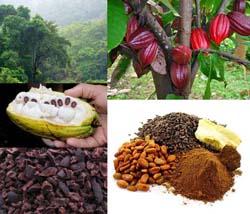 افت قیمت دانه کاکائو در بازار جهانی