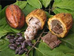 افت قیمت دانه کاکائو ادامه دار شد
