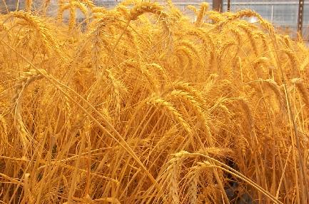 احتمال وقوع خشکسالی بیسابقه و افت شدید تولید گندم در جهان