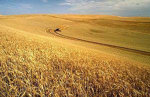 خرید گندم مازاد کشاورزان به 2 میلیون تن رسید/خروج دولت از انحصار خرید