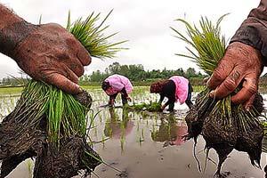 خرید تضمینی برنج در کشور توسط بانک سپه آغاز شد