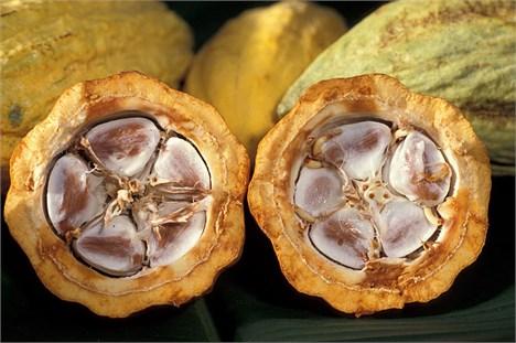 کاکائو - Cocoa