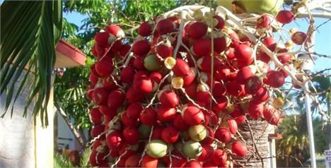 روغن پالم (Palm Oil) چیست؟