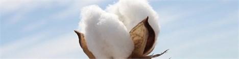 پنبه - Cotton
