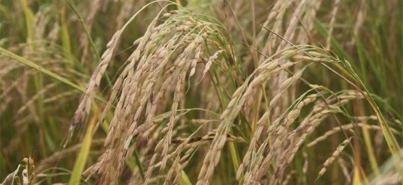 4 میلیارد تومان از وجه خرید توافقی برنجکاران گیلانی پرداخت نشده است