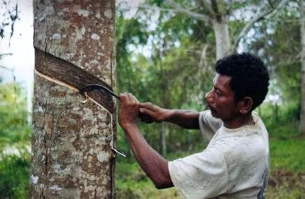 میزان تولید و صادرات کائوچوی طبیعی اندونزی در سال 2015 ثابت خواهد بود