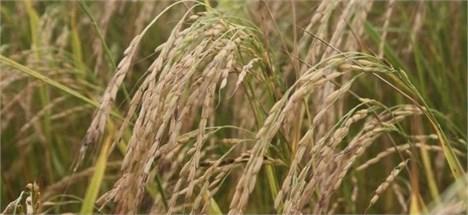 نمایشگاه تجهیزات صنعتی وابسته به تولید برنج در ساری گشایش یافت