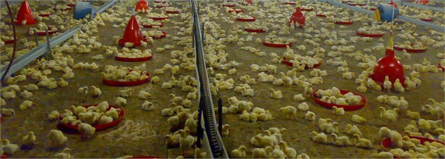 اشتغال ۱۳ هزار نفر در صنعت پرورش مرغ گوشتی کردستان