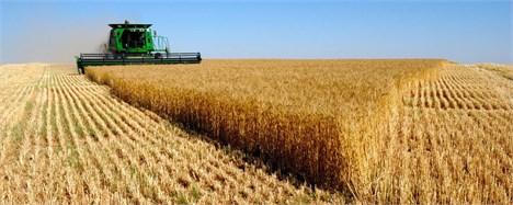 عاملیت خرید گندم در اردبیل به بانک کشاورزی واگذار شد