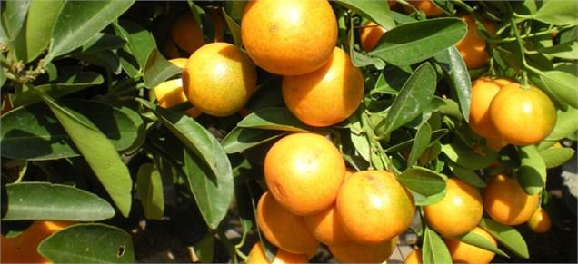 توزیع میوه شب عید از ۲۲ اسفند