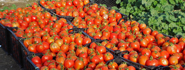 دولت ۴ هزارتن گوجهفرنگی از کشاورزان خرید/ بازار متعادل شد