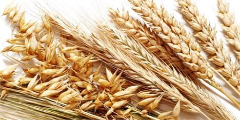 دلایل افت قیمت گندم در بازارهای آتی
