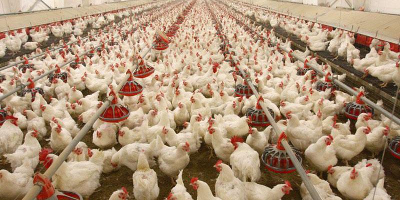 سقوط قیمت به علت امتناع مردم از خرید مرغ