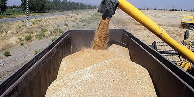 ۱۶۴ هزار تن گندم در مازندران خرید تضمینی شد