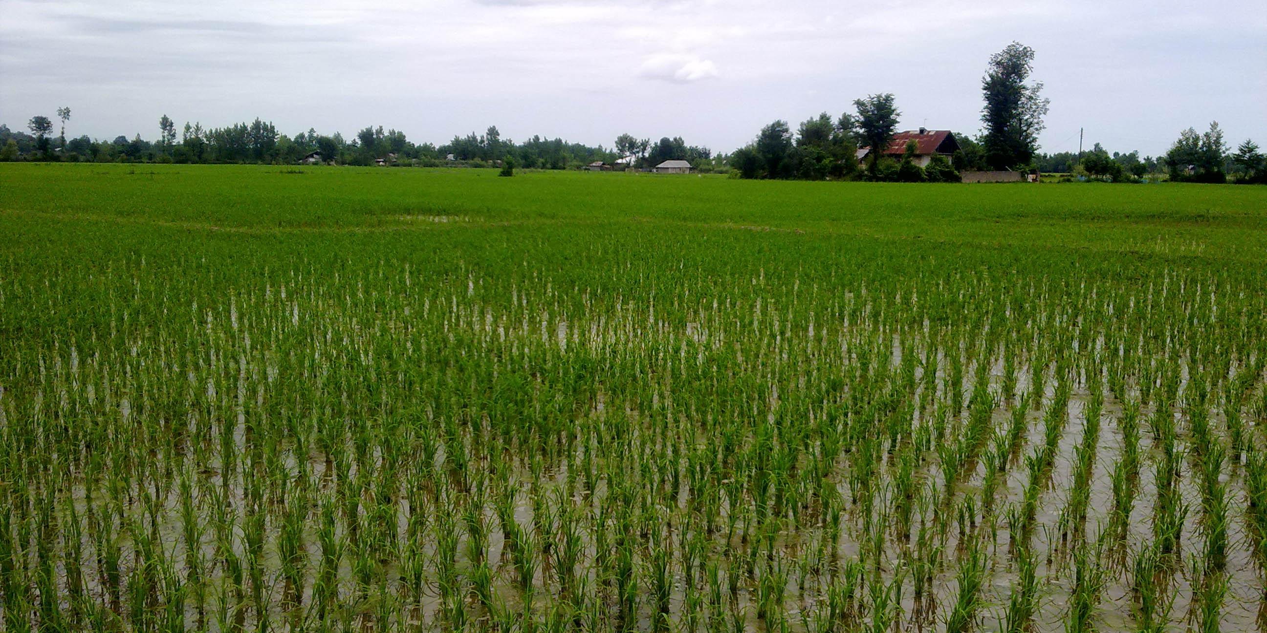 پیش بینی رشد ۱۰ درصدی تولید برنج در مازندران