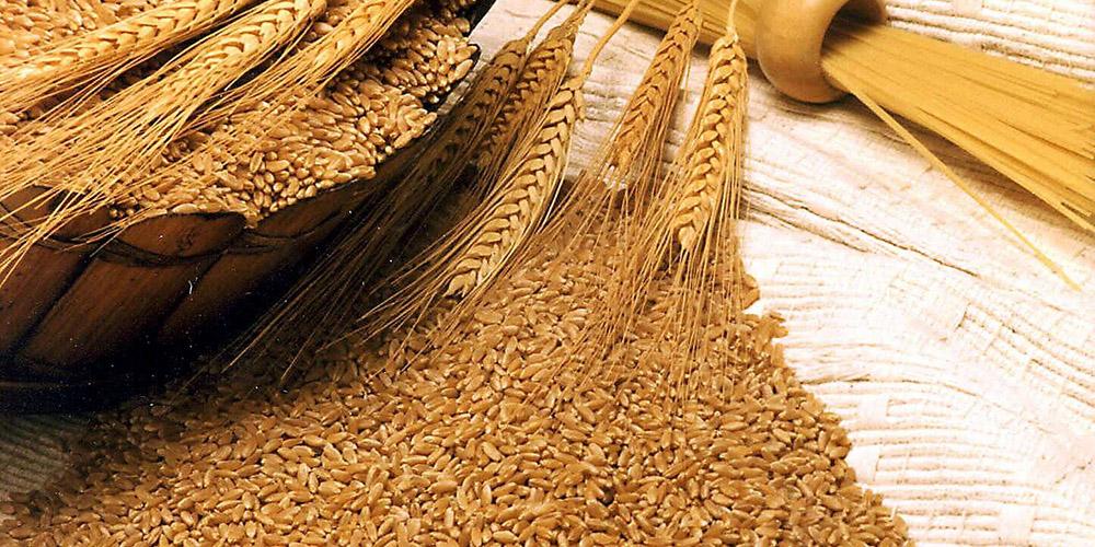 افزایش ۱۸ درصدی تولید جو در استان سمنان