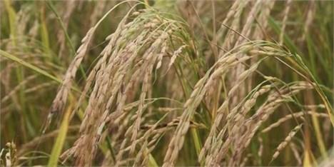 واکنش به اختلاط برنجهای ایرانی و خارجی