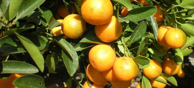 روزهای پرتقالی مرکبات مازندران