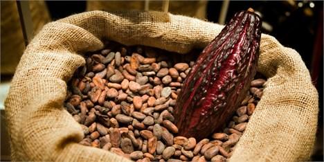 کاکائو محصولی که هر روز ارزشمندتر میشود