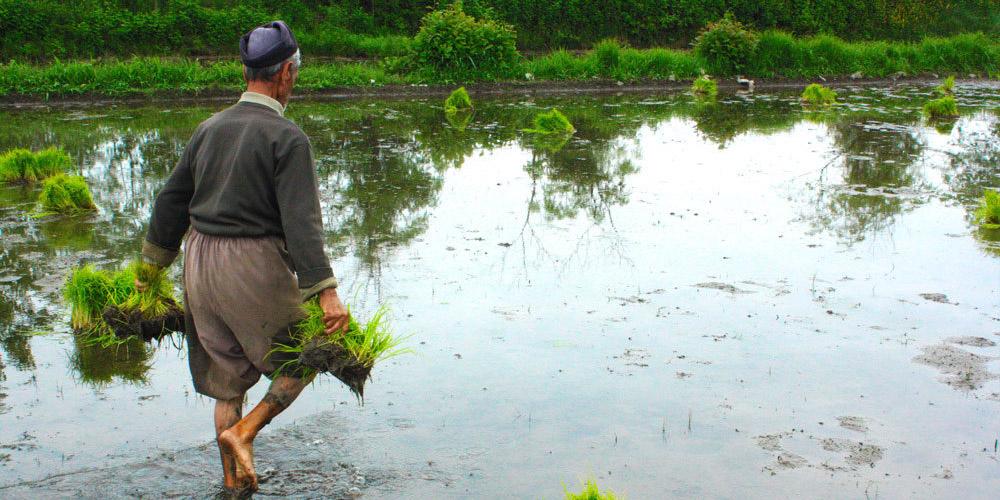 ماجرای برنجهای آلوده مشمول قانون پولشویی است