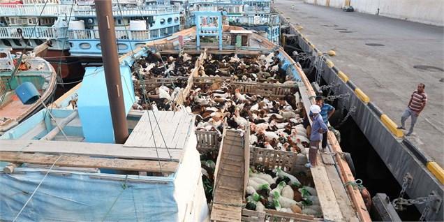 صادرات دام زنده از بنادر خوزستان به عمان از سرگرفته شد