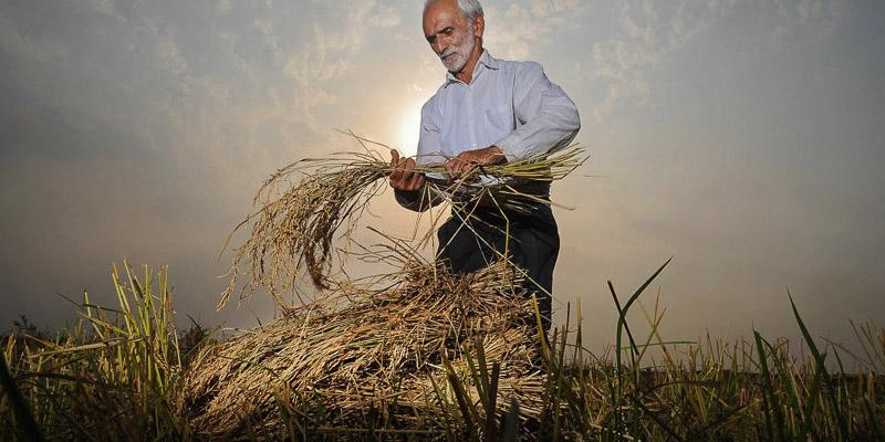 قیمت خرید تضمینی برنج برای کشاورزان راضیکننده نیست