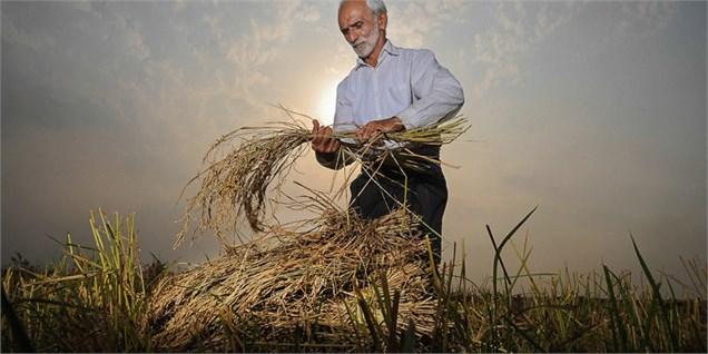 رشد ۵۳ درصدی خرید گندم در کردستان