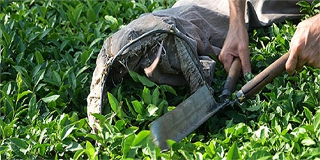 افزایش 50 درصدی درآمد چایکاران/ واردات چای آب رفت