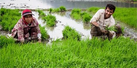 قیمت مناسب برنج در بازار و شادی شالیکاران گیلانی