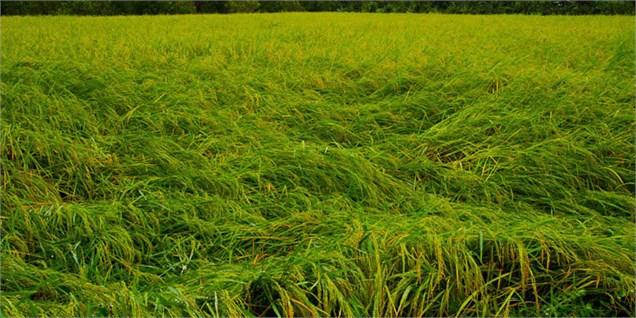 ثبات قیمت برنج در شالیکوبیهای مازندران