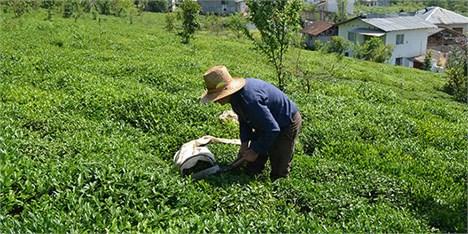 واریز 50 میلیارد تومان مطالبات چایکاران/کاهش 25 درصدی واردات چای