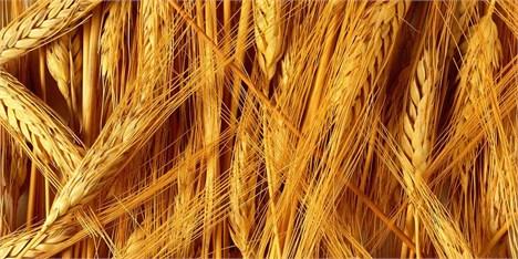 خرید گندم در آستانه ثبت رکورد تاریخی