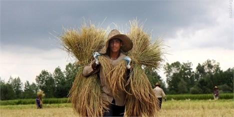 خودکفایی گندم حاصل زحمات کشاورزان است