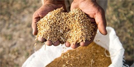 خرید تضمینی گندم کشاورزان از 10.7 میلیون تن فراتر رفت