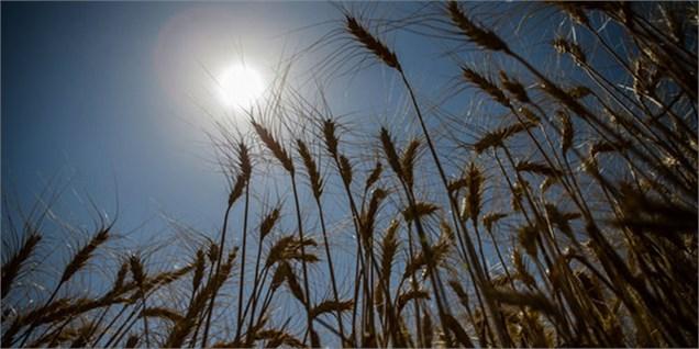 افزایش ۱۳ درصدی خرید گندم در فارس