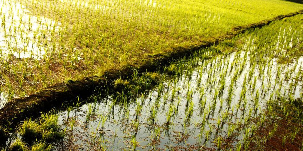پایان برداشت برنج در شالیزارهای گیلان
