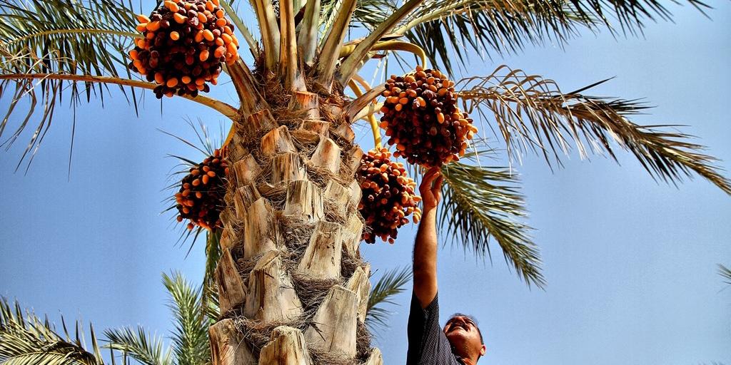 آغاز برداشت محصول خرما از نخلستانهای آبادان