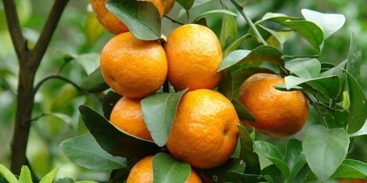 ورود 25 هزارتن نارنگی نوبرانه مازندران به بازار