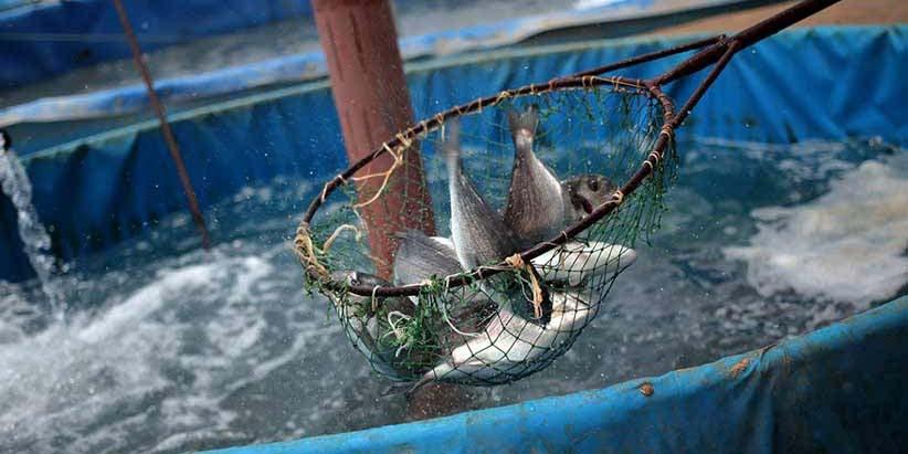 حمایت سازمان شیلات از واردات تیلاپیا