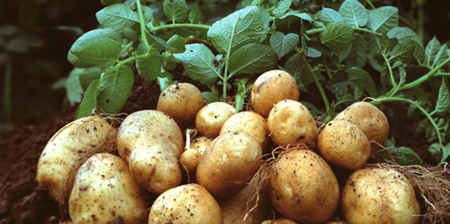 صادرات سیب زمینی، مرهم درد کشاورزان