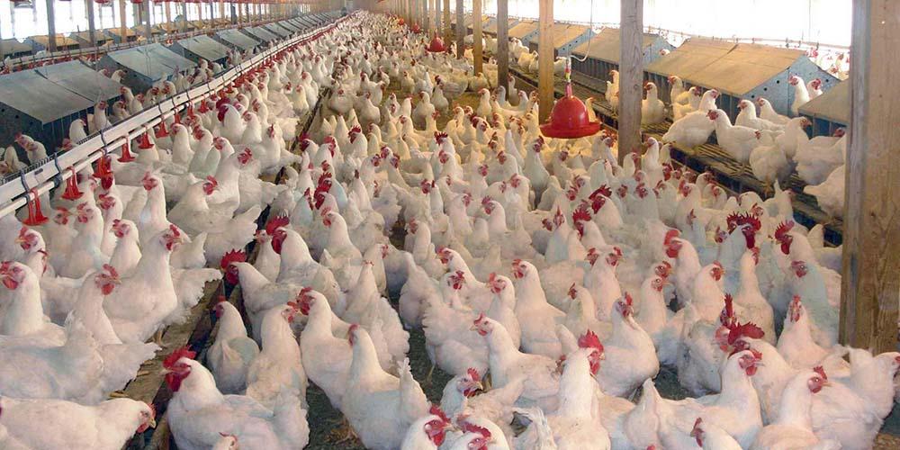 تورم فصلی محصولات مرغداریها به 15.14 درصد رسید