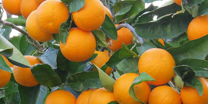 تعیین قیمت پرتقال شب عید و پایان بلاتکلیفی باغداران مازندرانی
