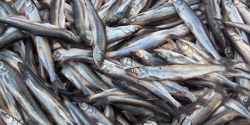 شب یلدا ماهی را گران کرد