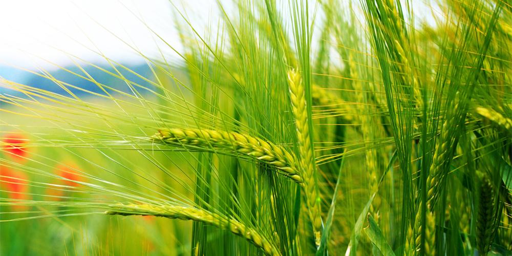 کشاورزی کردستان دیگر سنتی نیست/ گندم استان با کیفیتترین است