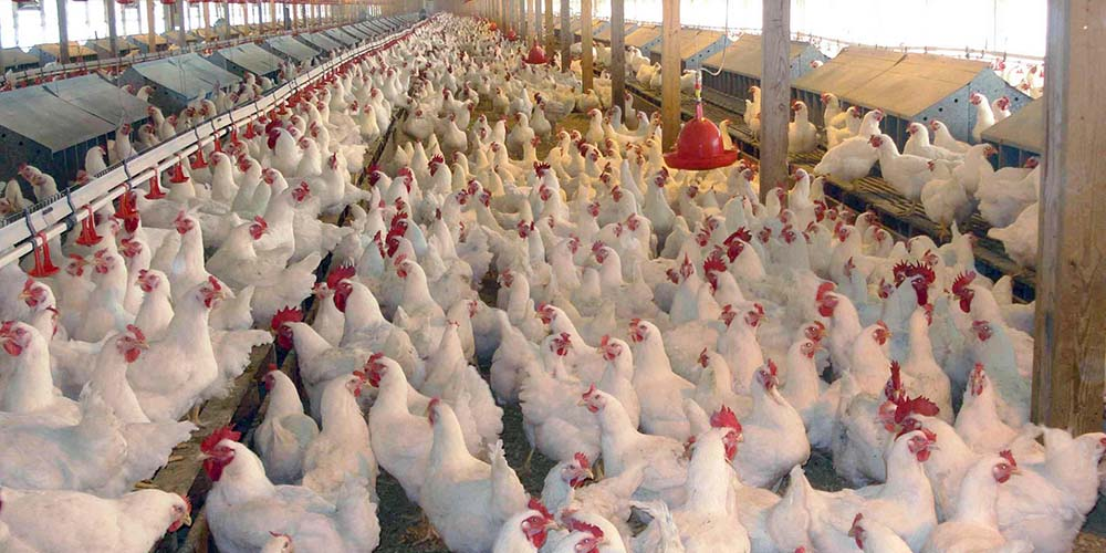 مجهز نبودن کشتارگاهها مانعی بر سر اجرای طرح مرغ سایز/ نگرانیم مردم مرغ ریز نخرند