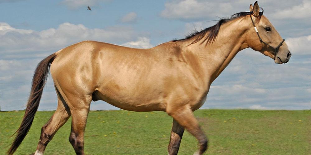 اسبهای ایرانی در اتحادیه اروپا چهار نعل خواهند تاخت