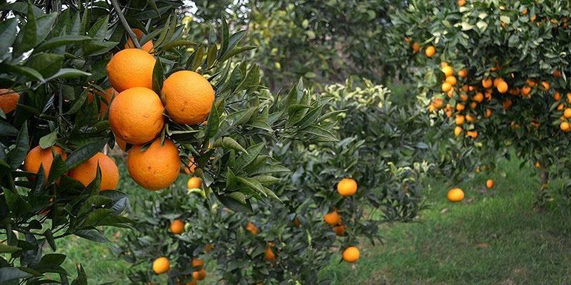 توضیحات وزیر کشاورزی درباره نحوه تامین میوه شب عید